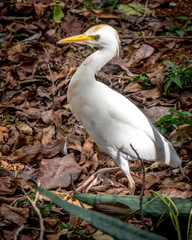 Egret on the Hawaiian Islands