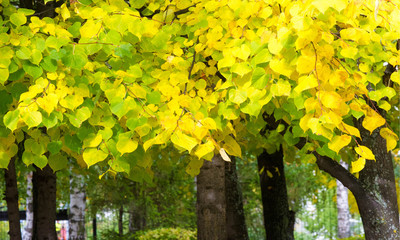 Autumn landscape of photography, Maple tree or shrub with lobed
