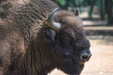 Fototapeta European wood bison or zubr close up