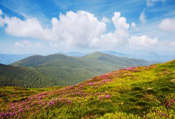 壁紙(ウォールミューラル) - Breathtaking pink rhododendron flowers in summer alpine valley.
