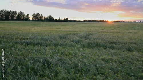 Fototapete Bright sunset sky with cirrus over a wheat field. The sun sets behind the horizon. Rural summer landscape. Beauty nature, agriculture and seasonal harvest time. Timelapse.