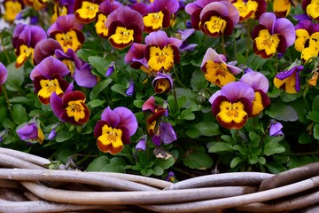 basket with pansies