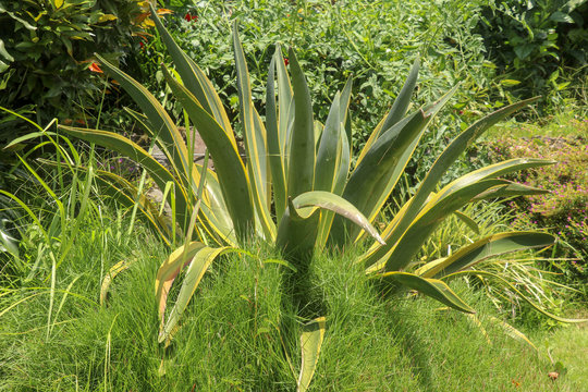 Natural texture of Agave americana or American aloe. Agave americana, sentry plant, maguey, or American aloe, is a species of flowering plant in the family Agavaceae. Century plant - succulent plant.
