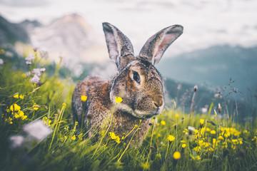 Ausgewachsener Hase auf einem Berg in den Alpen Fotoväggar