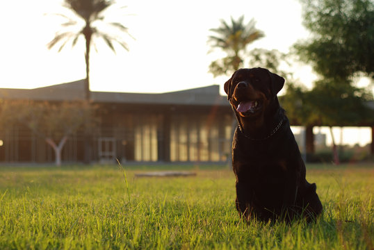 portrait of rottweiler ON FIELD