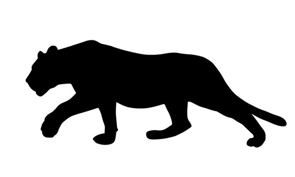 Realistic illustration of a feline, lion or panther, sneaking and hunting, vector