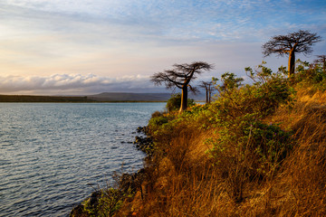 Sunrise with Diego's Baobabs, adansonia suarezensis, close to Diego Suarez, Madagascar