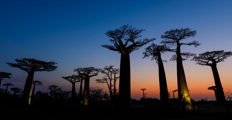 Keuken foto achterwand Baobab Silhouette at sunset of Baobab giants and the Alley of the Baobabs, Morondava, Madagascar