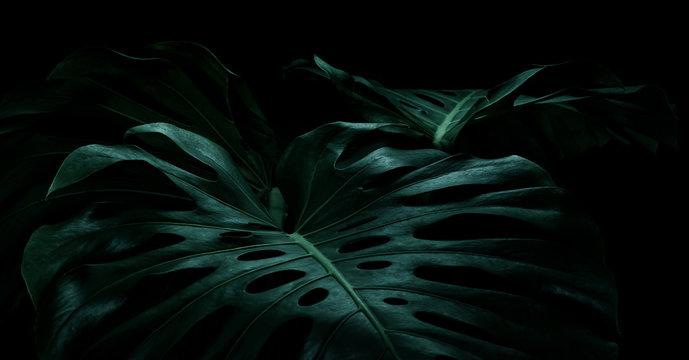 Selective focus of monstera leaves (leaf) on dark color for decorating composition design