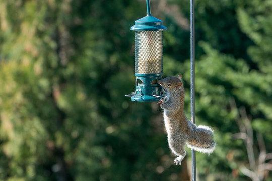 Grey Squirrel stealing food from green bird feeder