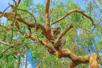 koala bear, Phascolarctos cinereus species, lying on eucalyptus tree at Phillip Island in Victoria, Australia. The koala boardwalk provides koala viewing and amazing views of a natural wetland area.