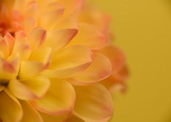Fotobehang Dahlia Close up of orange and yellow dahlia to the left of center petals
