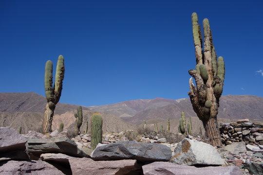 Cactus and colorful mountain, Pucara de tilcara, jujuy, argentina