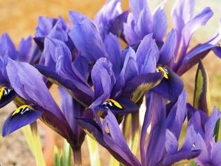 Poster Iris Closeup of beautiful miniature purple iris flowers, Iris histrioides variety Palm Springs