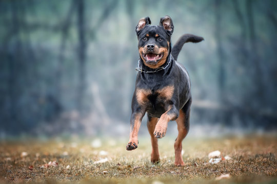 Rottweiler Running On Field