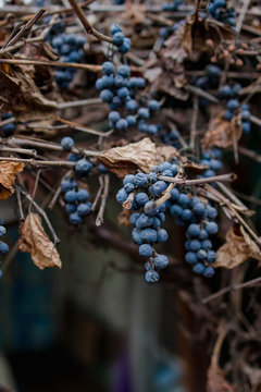 Autumn wild blue grapes on a dried vine with dry leaves on an old house wall. Copy space