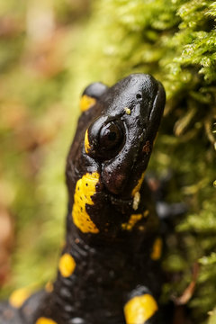 Close-up of salamander with springtail on head