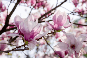 pink blossom of magnolia tree. big flowering on the twigs in sunlight. spring season in the garden. bright ornamental background