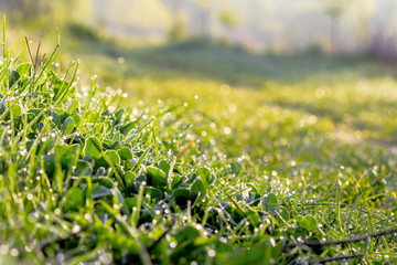 green grass in morning dew. beautiful springtime nature scenery in the morning