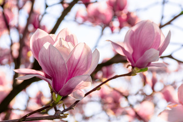 Poster de jardin Magnolia magnolia tree blossom in springtime. tender pink flowers bathing in sunlight. warm april weather