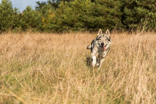 Czechoslovakian wolfdog running on the yellow grass