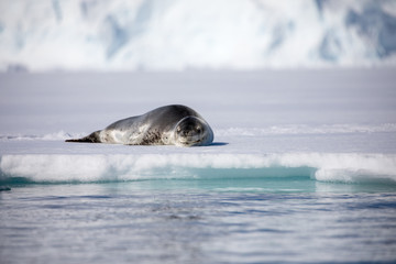 View Of Sea Lion Resting On Frozen Sea