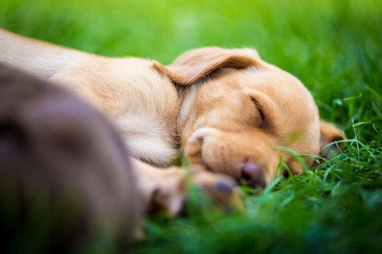Tired yellow labrador puppy 6 weeks old sleeps in the grass on summer afternoon