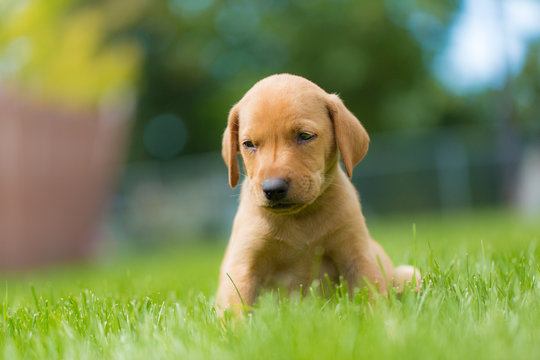Exhausted yellow golden lab vizsla puppy sits on lawn in back yard in summer