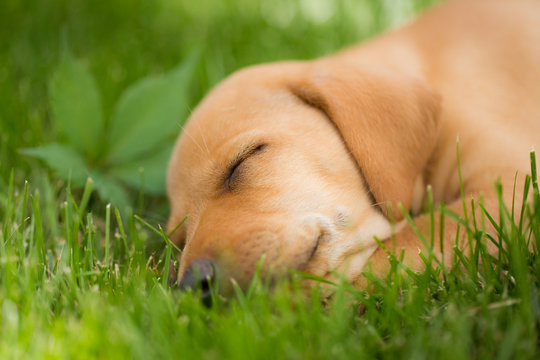 Yellow lab vizsla mix puppy 6 weeks old sleeps in the grass on summer afternoon