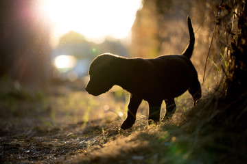 Small black labrador vizsla mix puppy silhouetted by evening sun in autumn fall