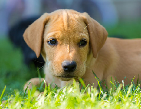 Portrait of yellow labrador vizsla mix puppy with black nose laying on grass