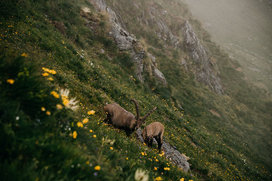 Mountain Goats On Grass
