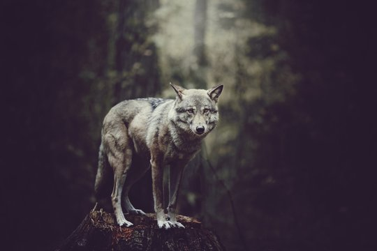 Portrait Of Wolf On Tree Stump In Forest