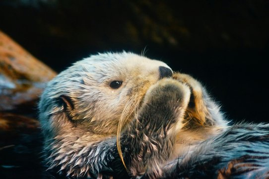 Close-Up Of Wet Sea Otter