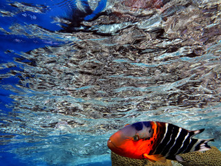 Wonderful and beautiful underwater world with corals and Boomtail wrasse (Cheilinus lunulatus),