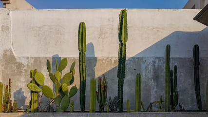 Cactus against a concrete wall Mexico City