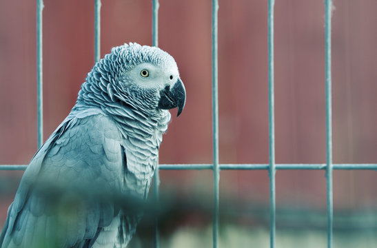 Close-Up Of African Grey Parrot In Birdcage