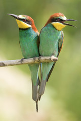Papiers peints Oiseau European bee-eater (Merops apiaster), wildlife colorful bee eater bird in natural habitat, close up with blurry background