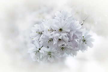 spring tree branch bloom bloosom of appple tree in romantic white coloring