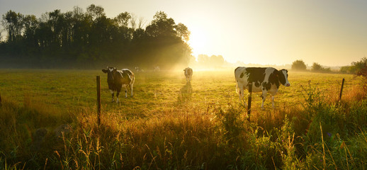Photo sur Aluminium Vache Cows on sunrise meadow
