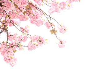 Cherry Blossom or Sakura flower in the nature of springtime on white background