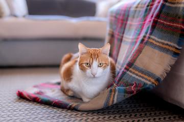 Gato blanco y marrón sobre una manta a cuadros, mira profundamente. Plano medio