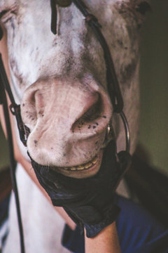 Cropped Hand Holding White Horse Mouth In Stable