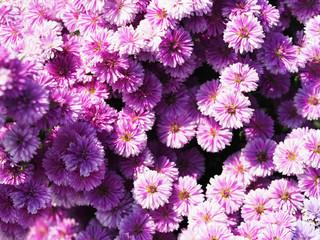 Wall Mural - Top view purple blooming flower field.