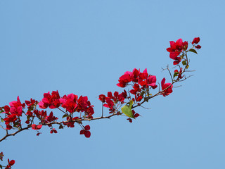 Wall Mural - Red Bougainvillea flower for natural summer background.