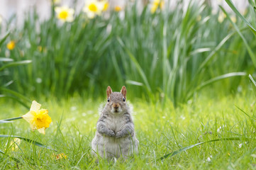 Grey squirrel surrounded by blooming daffodils