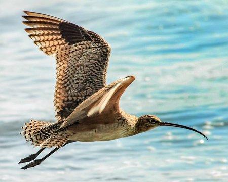 whimbrel BIRD flying over sea