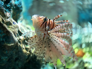 Thai lion fish in the aquarium for being a pet in the house