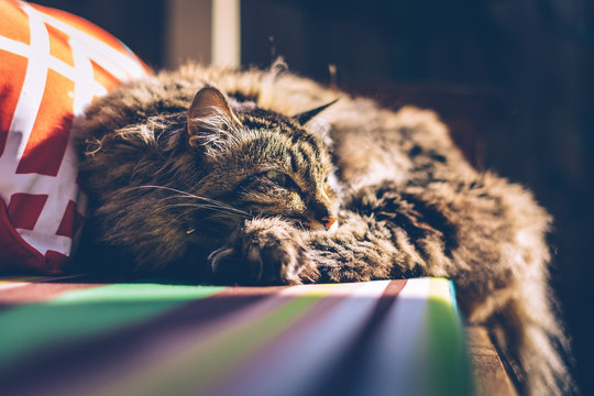 Close-Up Of Maine Coon Cat Resting On Beach