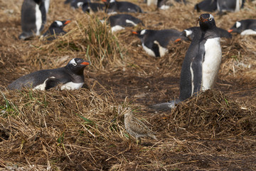 Magellanic Snipe (Gallinago paraguaiae magellanica) looking for food amongst a colony of Gentoo Penguins on Sea Lion Island in the Falkland Islands.
